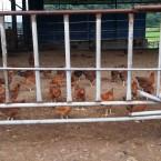 토종닭무리2.jpg